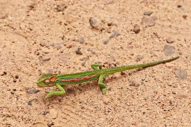 High angle closeup shot of a lizard in a field