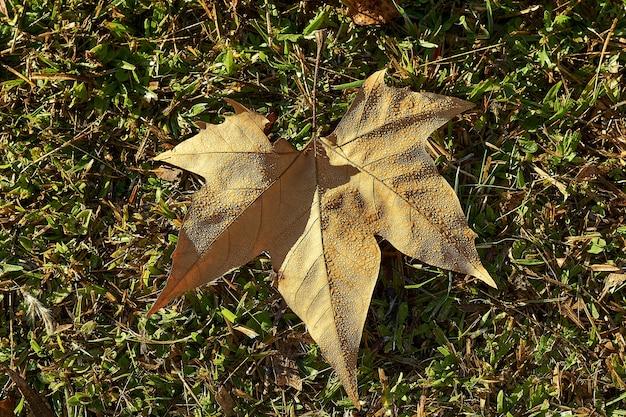 Крупным планом снимок сухого опавшего кленового листа под высоким углом