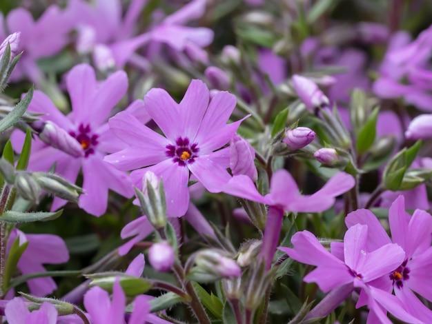 녹지가 있는 aubrieta 꽃의 높은 각도 근접 촬영