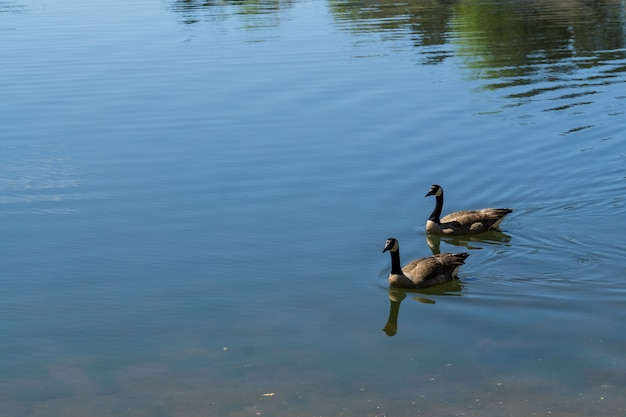 湖で泳いでいる2羽のアヒルの高角度のクローズアップショット