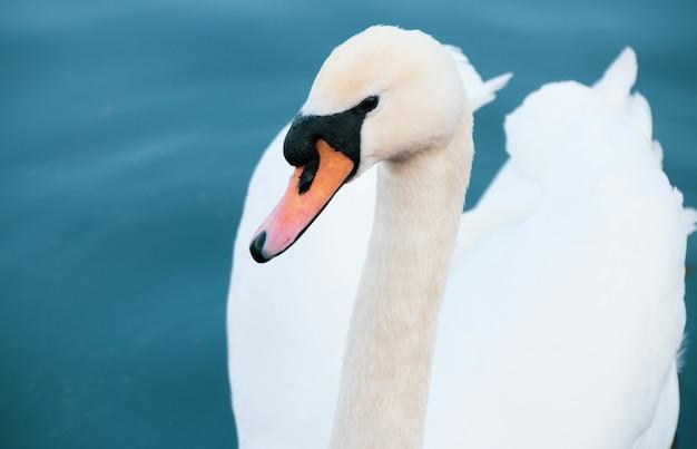 Colpo del primo piano dell'angolo alto di un cigno bianco che nuota nel lago