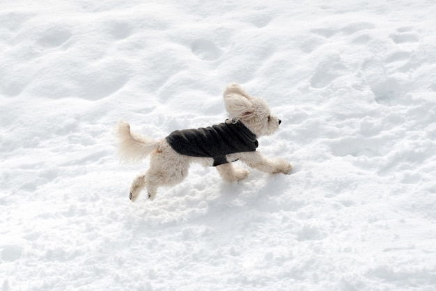 High angle of cute white poodle in coat running on clean snow on sunny winter day