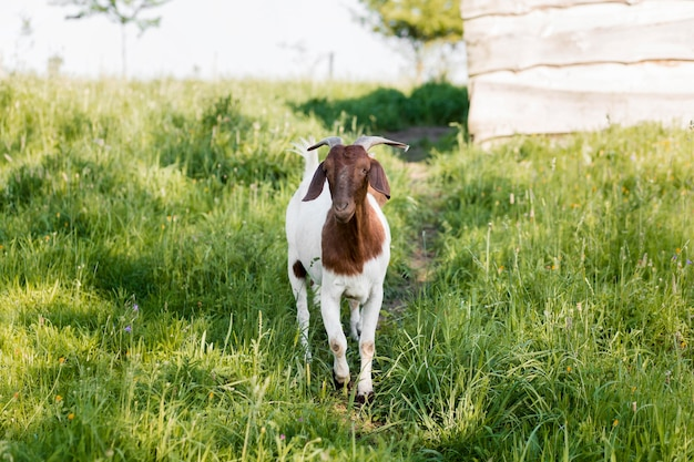 High angle goat at farm