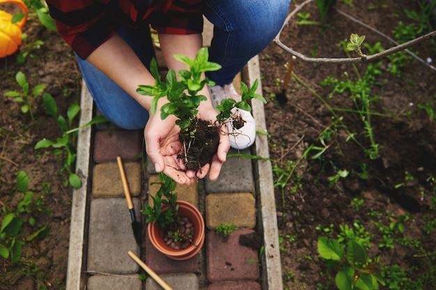 높은 각도로 민트 잎을 들고 있는 정원사 여성의 높은 각도 보기는 흙 냄비에 그들을 심기 전에 그녀의 손에 흙이 있는 콩나물입니다.