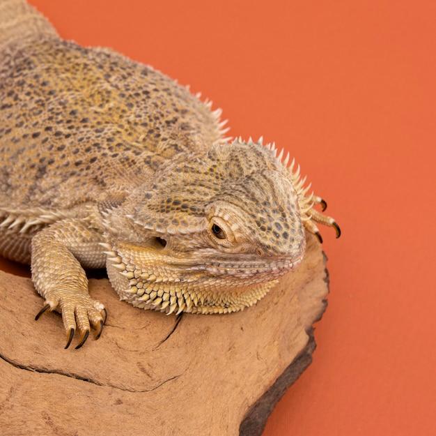 Alto angolo di iguana rilassante su un pezzo di legno