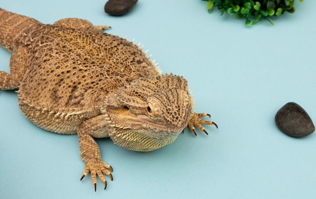 Alto angolo di rettile iguana