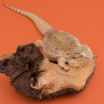 Alto angolo di iguana seduto su un pezzo di legno