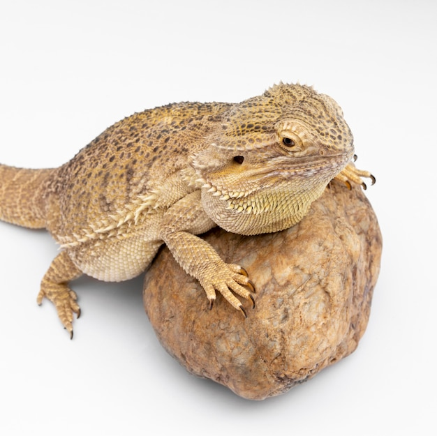 High angle of iguana sitting on rock
