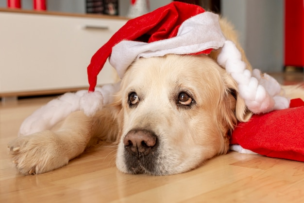 High angle labrador at home wearing santa hat