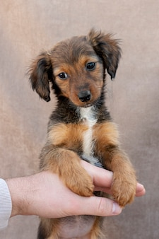 所有者の手に立っている高角度の小さな犬