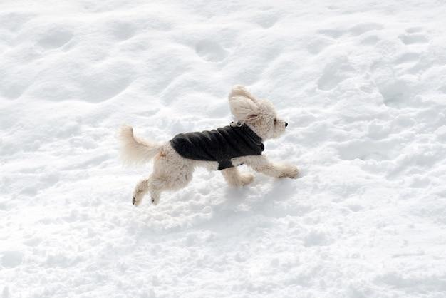 맑은 겨울 날 깨끗한 눈에서 달리는 코트에 귀여운 흰색 푸들의 높은 각도