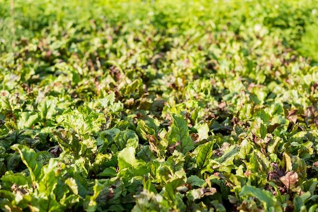 Высокий угол поля органического салата