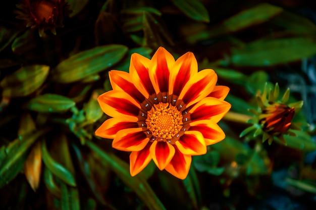 Colpo del fuoco selettivo dell'angolo alto di una pianta di fioritura sveglia di osteospermum
