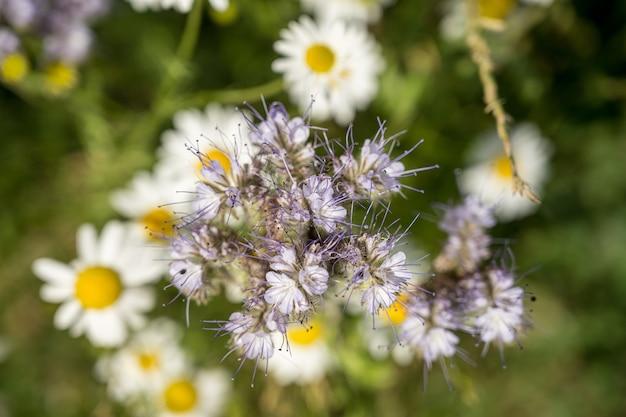 ぼやけたヒナギクを背景にしたハゼリソウの花のハイアングルセレクティブフォーカスショット