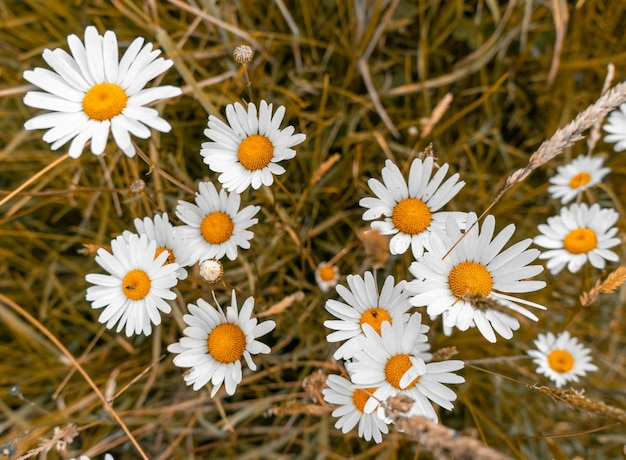 High angle shot of beautiful daisy flowers on a grass covered field