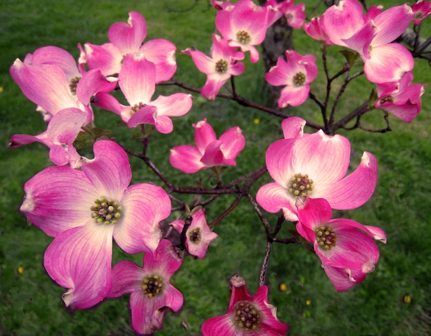 High angle shot of the beautiful pink dogwood flowers on grass-covered field in pennsylvania