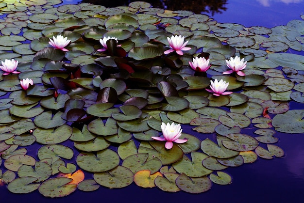 High angle shot of beautiful pink water lilies growing in the lake