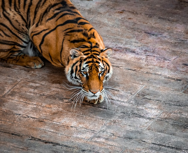 High angle shot of a beautiful siberian tiger resting on a wooden floor