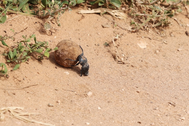 High angle shot of a black dung beetle carrying a road piece of mud near the plants