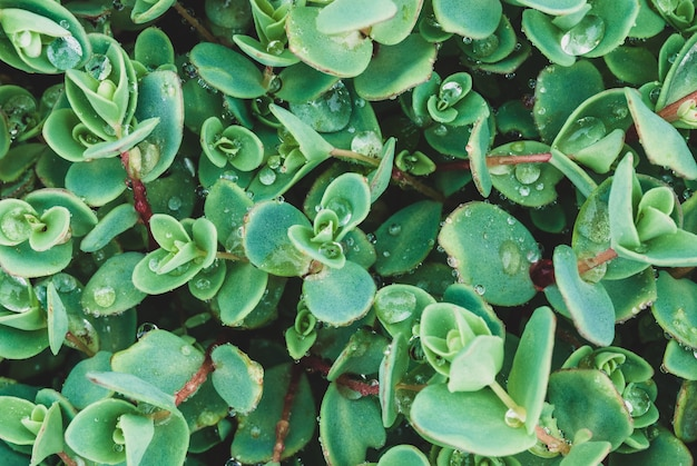 High angle shot of blue-green leaves of sedum ewersii with water drops after rain