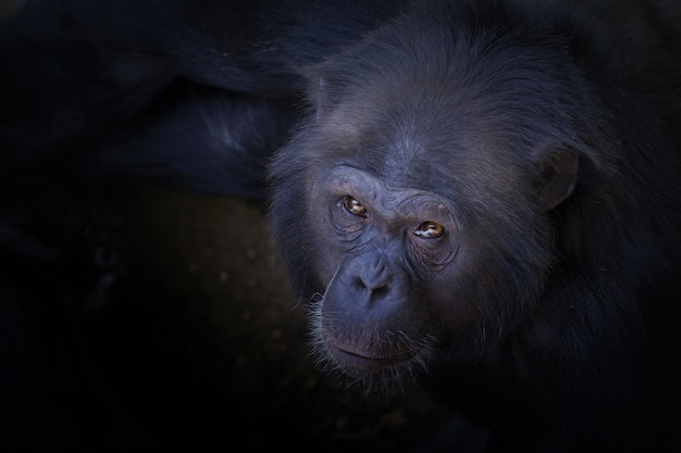 Colpo di alto angolo di uno scimpanzé che guarda verso la telecamera
