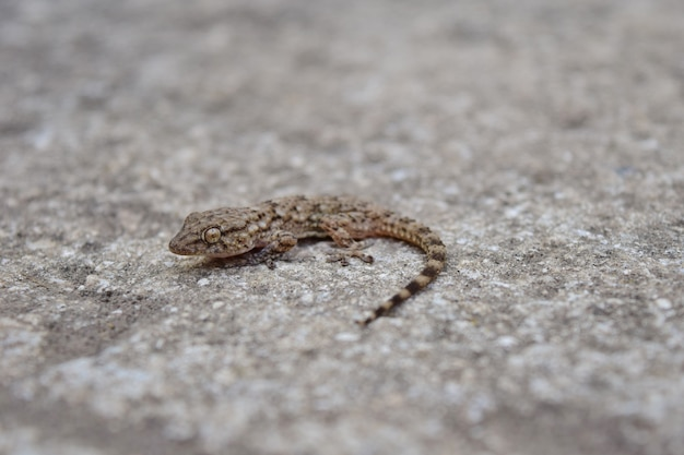 High angle shot of a common wall gecko on a concrete surface
