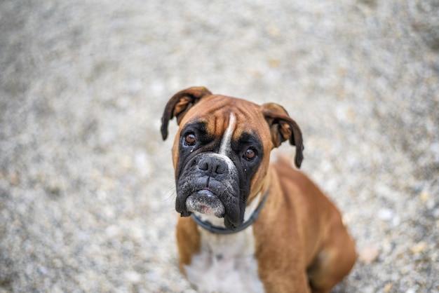 Inquadratura dall'alto di un simpatico cane boxer