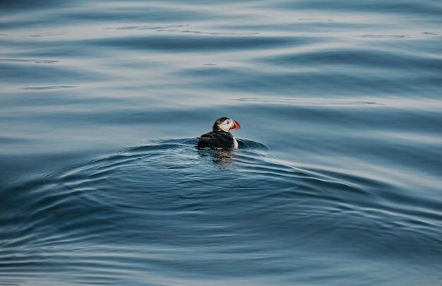 Colpo di alto angolo di un simpatico uccello pulcinella di mare che nuota nell'oceano