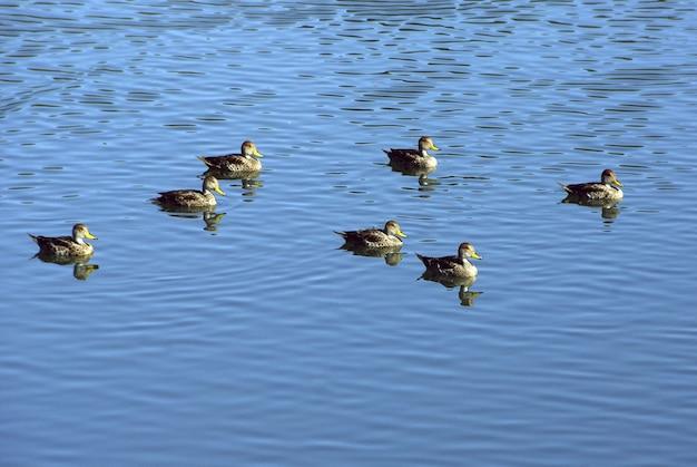 Inquadratura dall'alto di un gruppo di anatre che nuotano nel lago blu