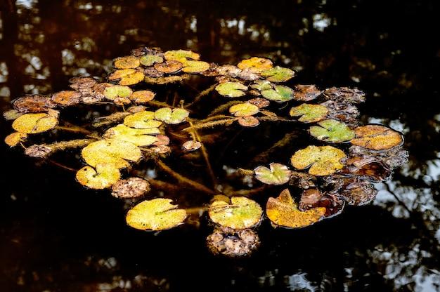 High angle shot of lily pads on the pond
