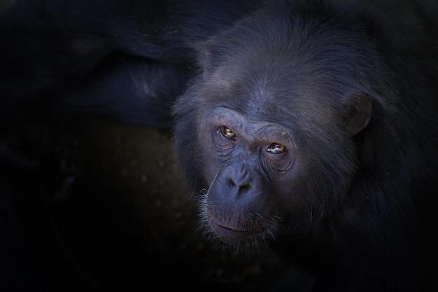 Снимок шимпанзе, смотрящего в камеру с большим углом