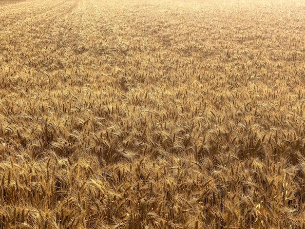 暖かく晴れた日に撮影された壮大な小麦畑のハイアングルショット