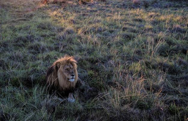 フィールドに座っている雄ライオンのハイアングルショット