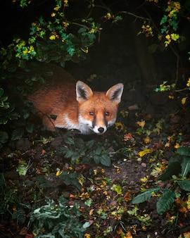 Рыжая лиса в лесу, покрытом зеленью, под огнями, под высоким углом.