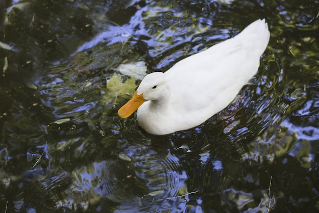 Белый американский пекинский утенок, плавающий в пруду, под высоким углом