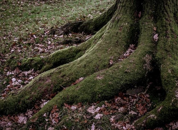 녹색 이끼로 덮여 나무의 큰 뿌리의 높은 각도 샷