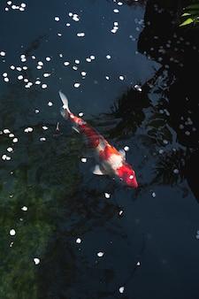 연못에서 아름다운 일본 잉어 물고기의 높은 각도 샷