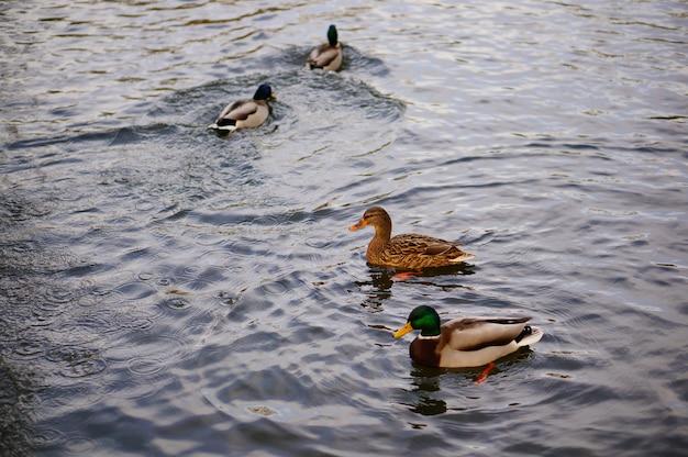 호수에서 수영하는 귀여운 오리의 높은 각도 샷