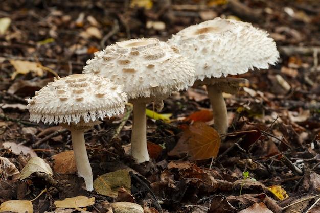 잎이 덮인 땅에서 자라는 세 개의 흰 버섯의 하이 앵글 샷