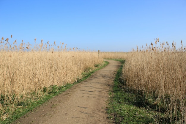 High angle shot of a path in the wheat field with the blue sky in the background