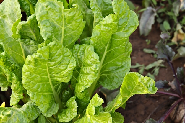 High angle shot of a spinach plant with fresh leaves in a garden