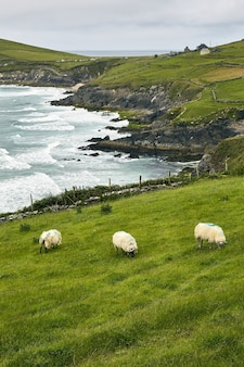 High angle shot of three sheep in the dingle peninsula coumeenoole