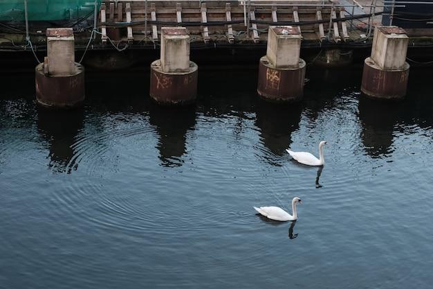 Inquadratura dall'alto di due cigni bianchi che nuotano in un'acqua riflettente