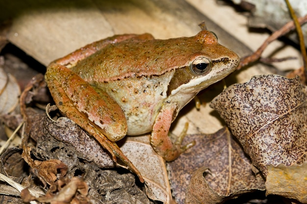 High angle shot of an ugly frog on dry leaves