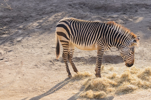 High angle shot of a zebra eating hay in a zoo
