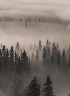 High angle view of an evergreen forest covered in fog