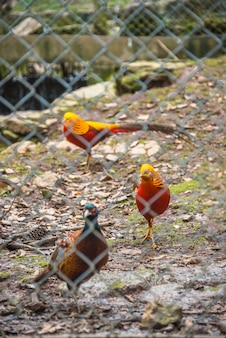 High angle view of golden pheasant in cage