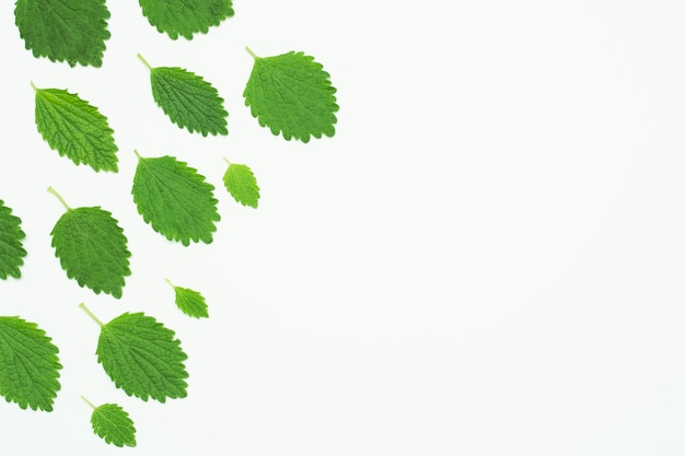 High angle view of green lemon balm leaves over white backdrop