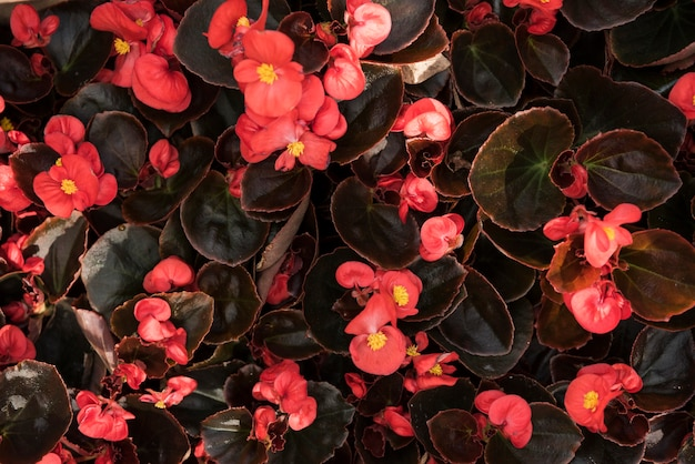 신선한 붉은 베고니아 꽃의 높은 각도보기