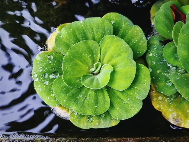 잎에 물방울이있는 작은 연못에있는 녹색 식물의 높은 각도보기